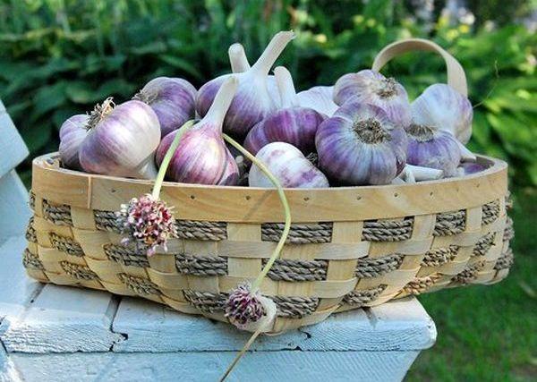 Удобрение чеснока, выращивание, подкормка весной и 98