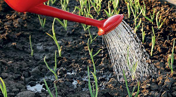 Желтеют листья чеснока: возможные причины, уход и полив, общие правила выращивания