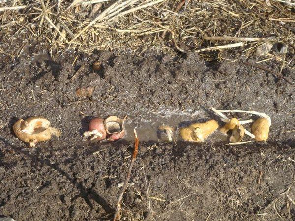 Картофельные очистки - лучшее удобрение для смородины: заготовка, применение, результат