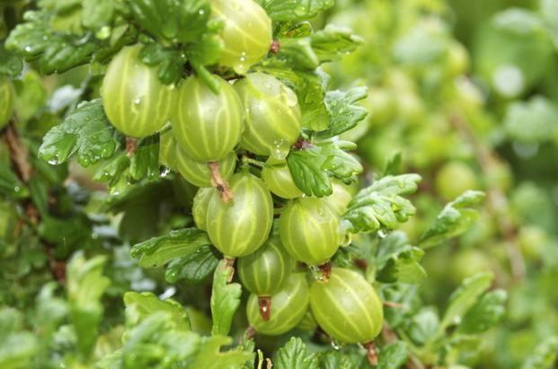 Крыжовник Берилл: основные правила ухода и выращивания, отличительные черты сорта