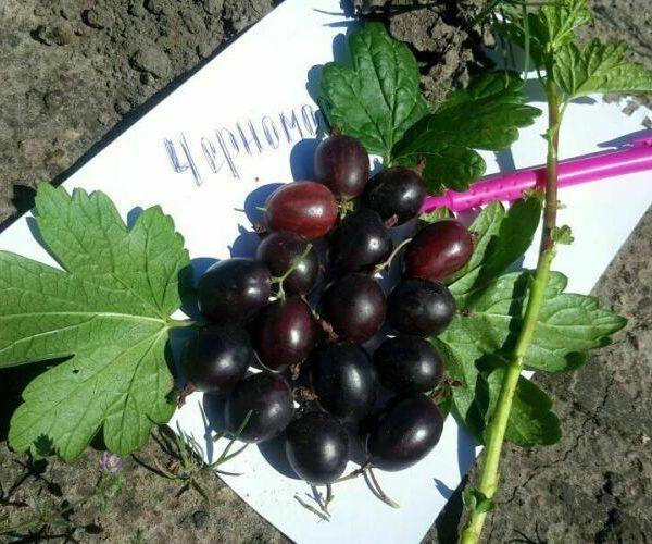 У сорта Черномор ягоды среднего размера
