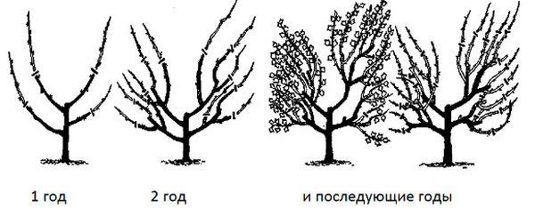 Схема правильной обрезки крыжовника