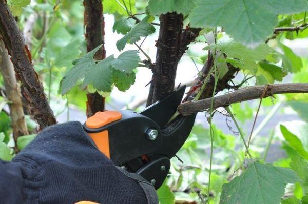 Как обрезать красную смородину весной и осенью: правила дальнейшего ухода за кустом