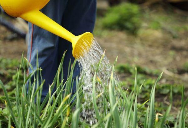 Поливка и подкормка - залог хорошего урожая