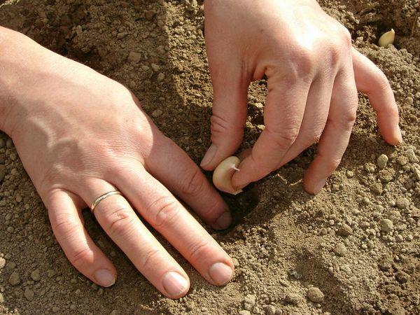 Чесноку нужна плодородная и богатая земля