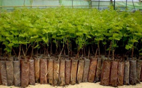 Посадка смородины осенью черенками: технология и правила проведения, дальнейший уход