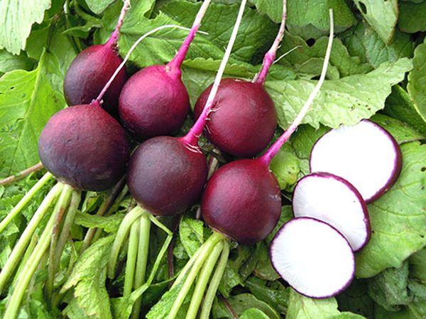 Популярный сорт редиса Малага