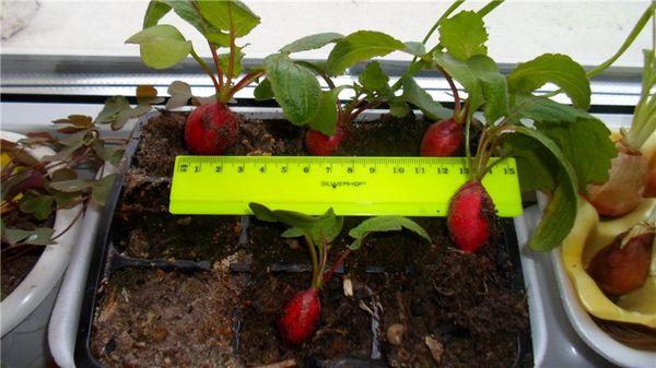 Редиска на балконе – отличный способ вырастить овощ