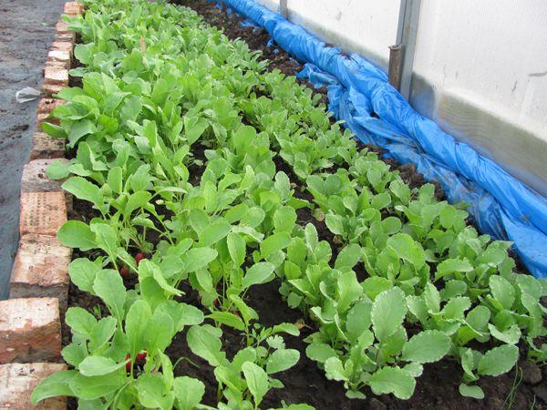 Садоводы часто выращивают редис в теплице