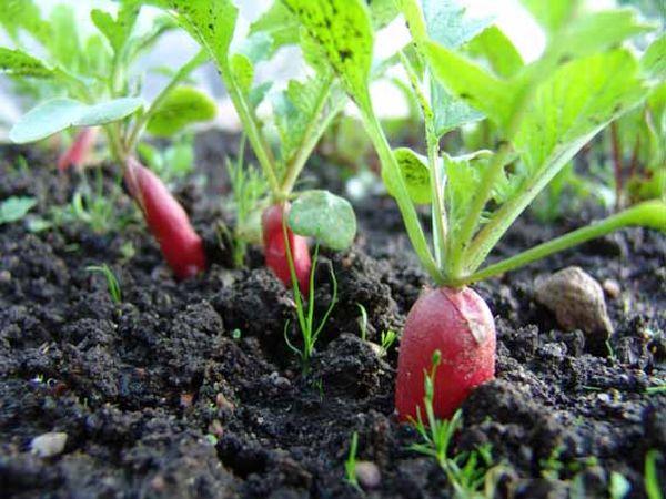 Редис – это однолетнее, светолюбивое растение