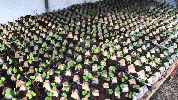 Выращивание редиса в бумажных яичных ячейках