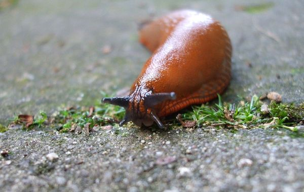 Слизень - один из вредителей редиса