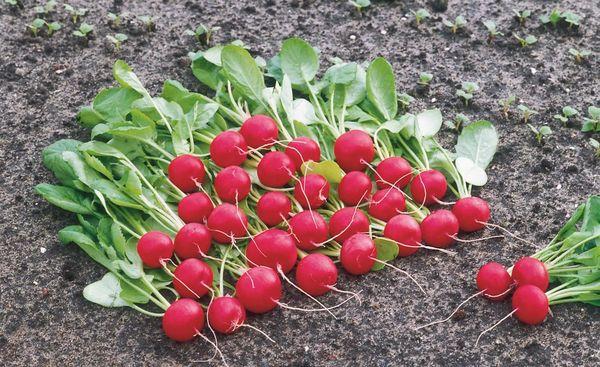Редиска – это первый весенний овощ