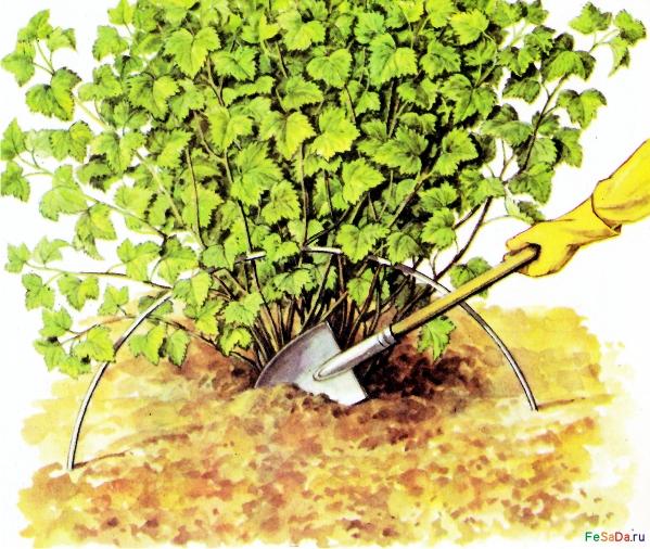 Уход за красной смородиной: правила посадки и размножения, борьба с болезнями и вредителями