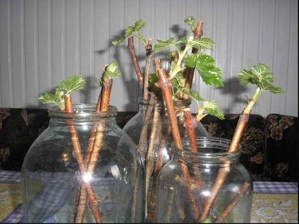 Подготовка черенков смородины для посадки