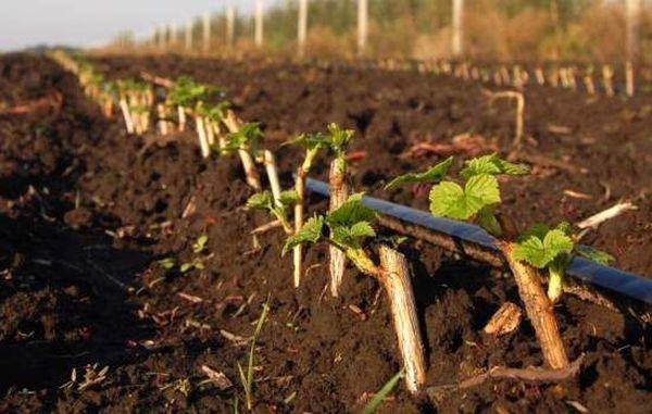 Посадка черенков смородины не самый трудоемкий процесс