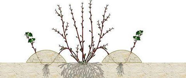 Описание сорта черной смородины Гулливер: достоинства и недостатки, выращивание и уход