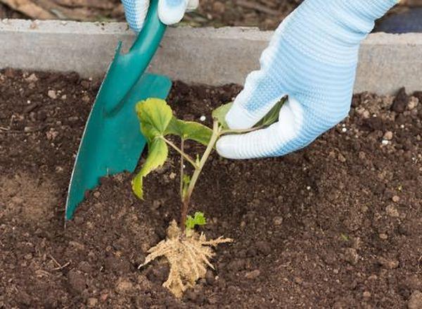 Перед посадкой срезается надземная часть растений