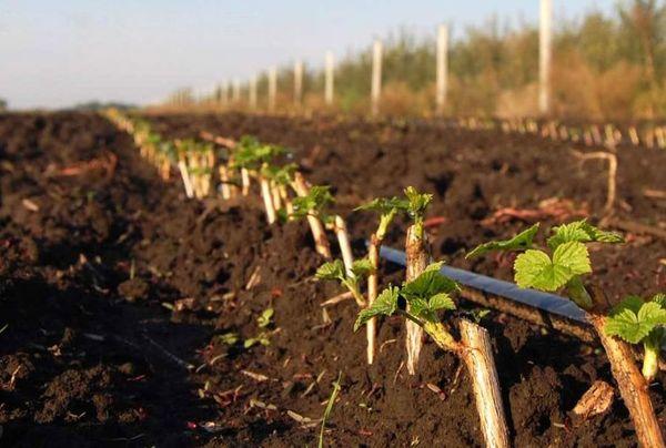 Высаженные кусты черной смородины