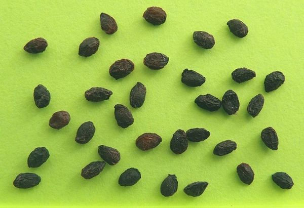 Выращивание черной смородины из семян: выбор семенного материала, требования к почве