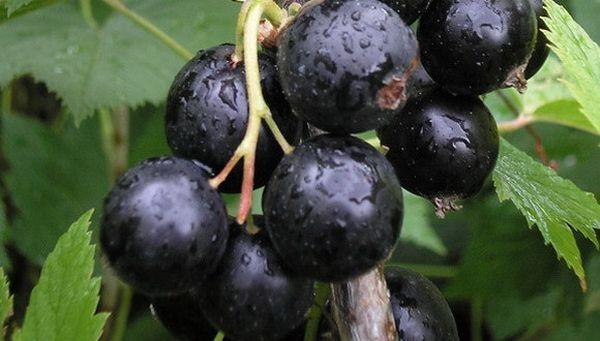 Черная смородина Сластена: характеристика, советы по выращиванию, урожайность сорта