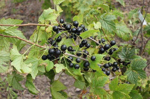 Смородина Сокровище: описание сорта, рекомендации по посадке и уходу за черной смородиной