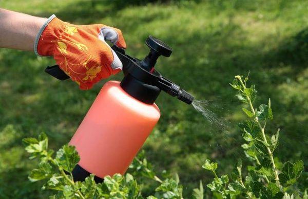 Опрыскивать растения лучше погожим вечером