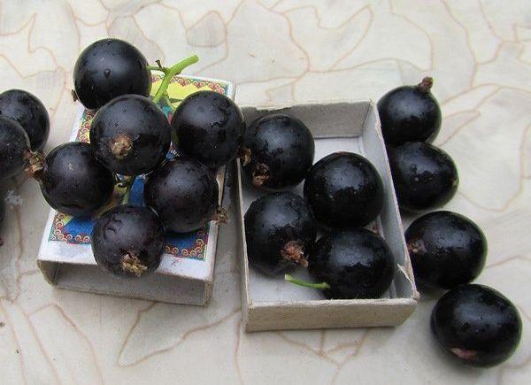 Сорт черной смородины Изюмная