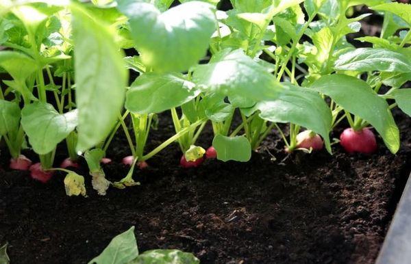 Домашний редис – это популярный овощ