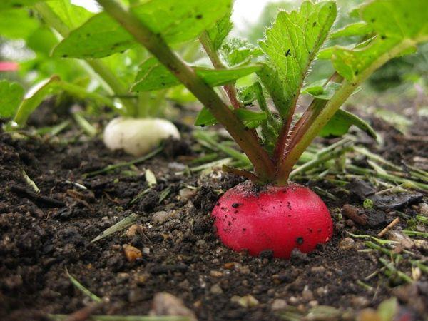 Редис - один из полезнейших овощей