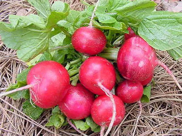 Популярный сорт редиса Вировский красный