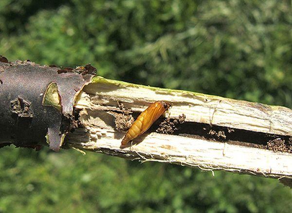 Стеклянница на смородине: как действует насекомое, методы борьбы и профилактики паразита