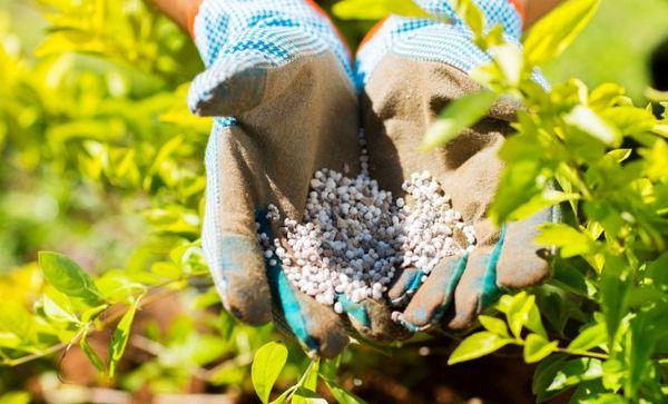 Применение азотных удобрений для кустарников