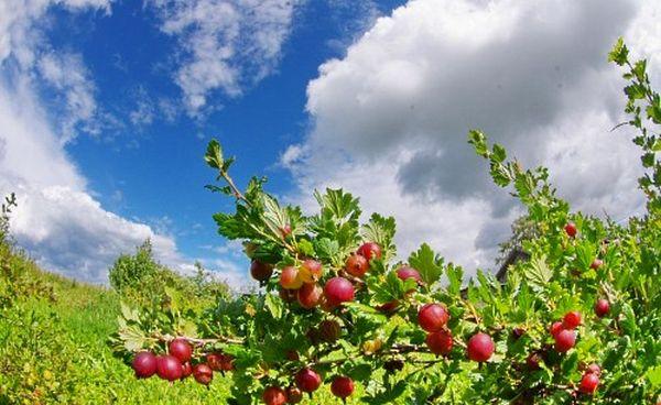 Крыжовник можно высаживать на участок весной и осенью