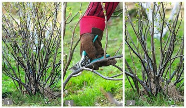 Уход за смородиной весной: обрезка старых побегов, обработка от вредителей, внесение удобрений
