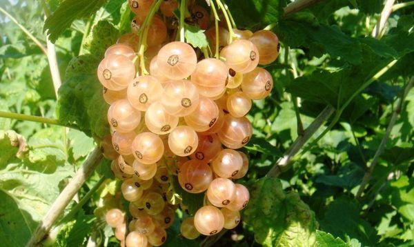 Смородина Версальская белая обладает высокой урожайностью
