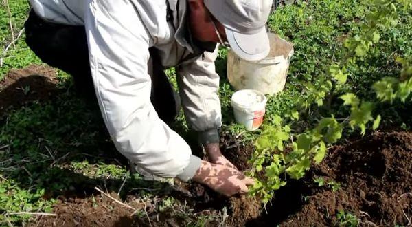 Для смородины Версальская белая подходит плодородная почва