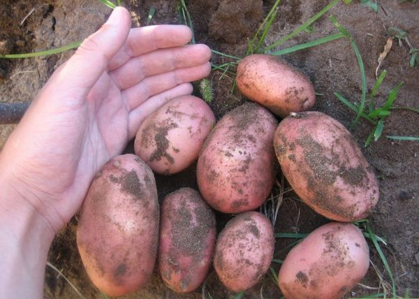 Картофель Розара относится к ранним сортам