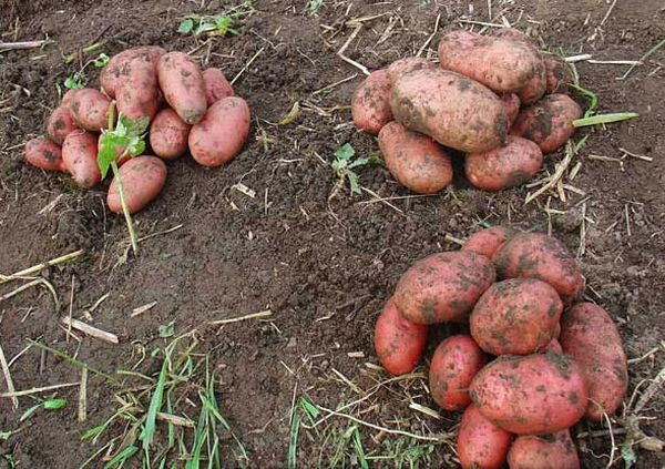Масса корнеплода от 90 до 120 грамм
