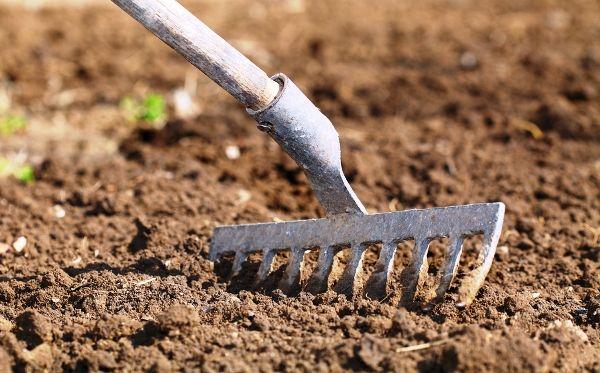 Розара относится к песчаным, хорошо дренируемым почвам