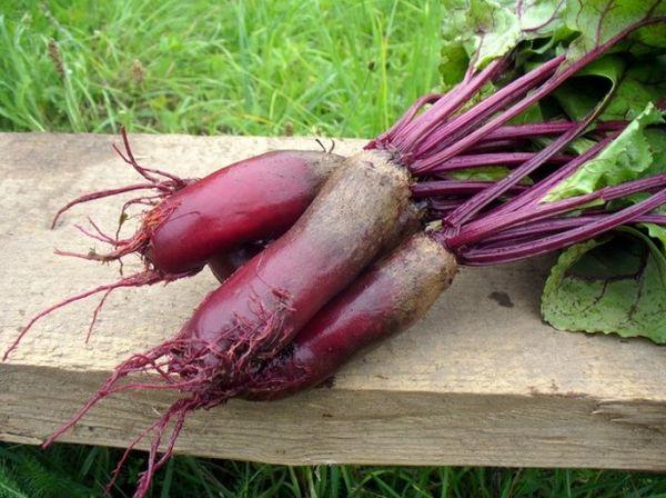 Кормовая свекла очень полезный овощ