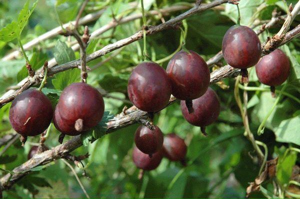 Крыжовник – это популярное ягодное растение