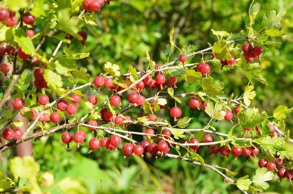 Крыжовник - богатая витаминами ягода