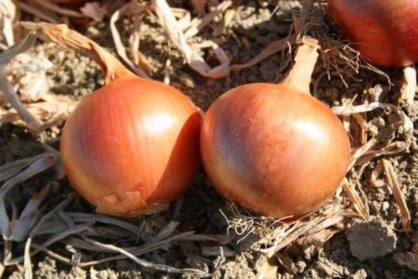 Популярный сорт лука Арзамасский