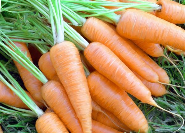 Морковь является всеми любимым овощем