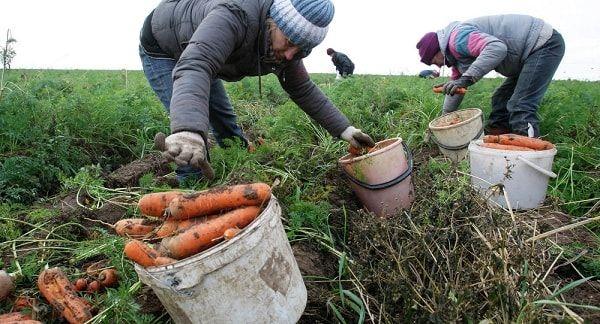 Морковь советуют собирать до 13 сентября