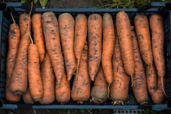Морковь хорошо хранится в погребе