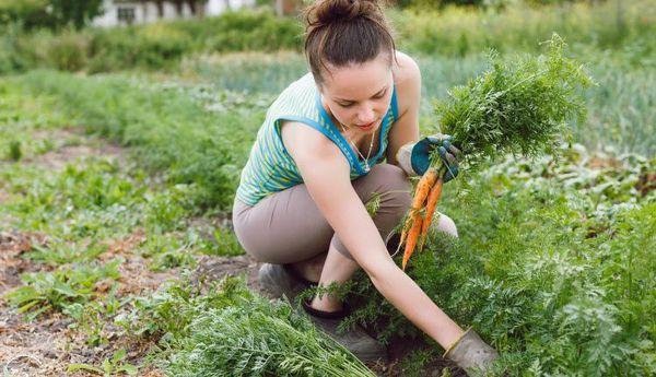 Правильный сбор моркови обеспечит долгое хранение
