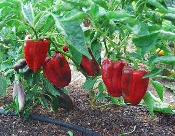 Успешное выращивание перца требует соблюдения множества правил