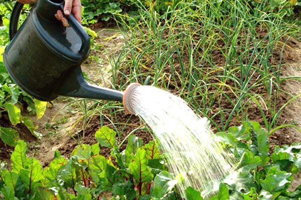 Буряк нужно регулярно поливать